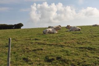 Местные быки