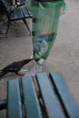 Вороны парижанки